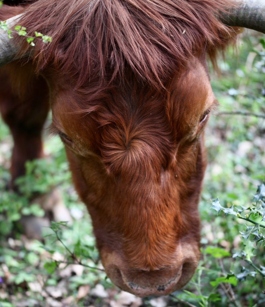 Highland cattle 8