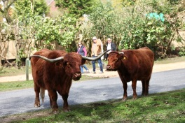 Highland cattle 10