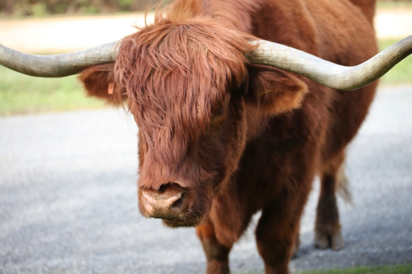 Highland cattle 13
