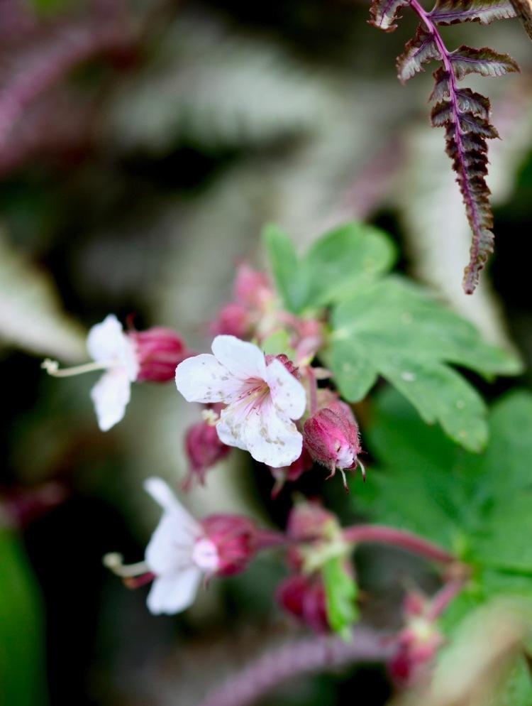 geranium macrorrhizum Ingwersen's Variety