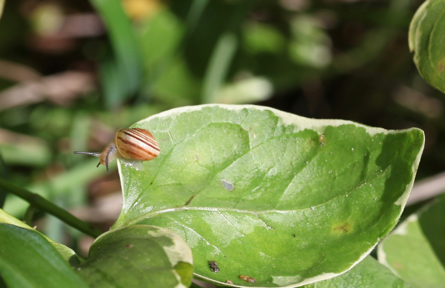 Snail on vinca leaf
