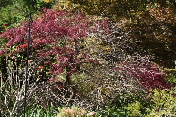 Japanese maple 1