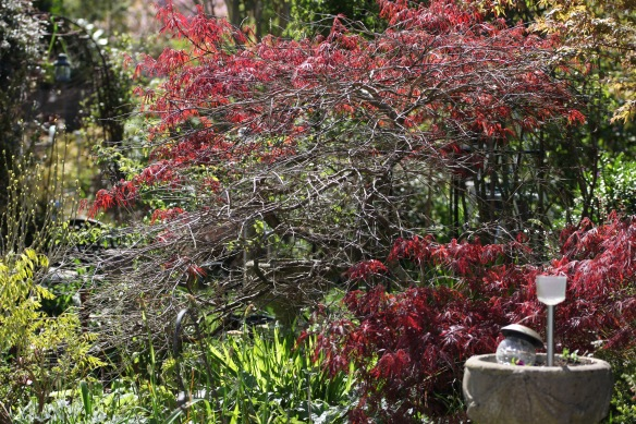 Japanese maple 2