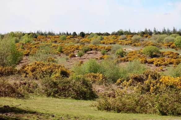 Cattle among gorse