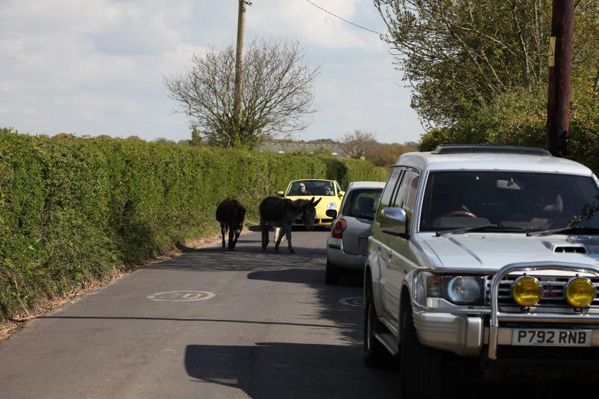 Donkeys on road 1