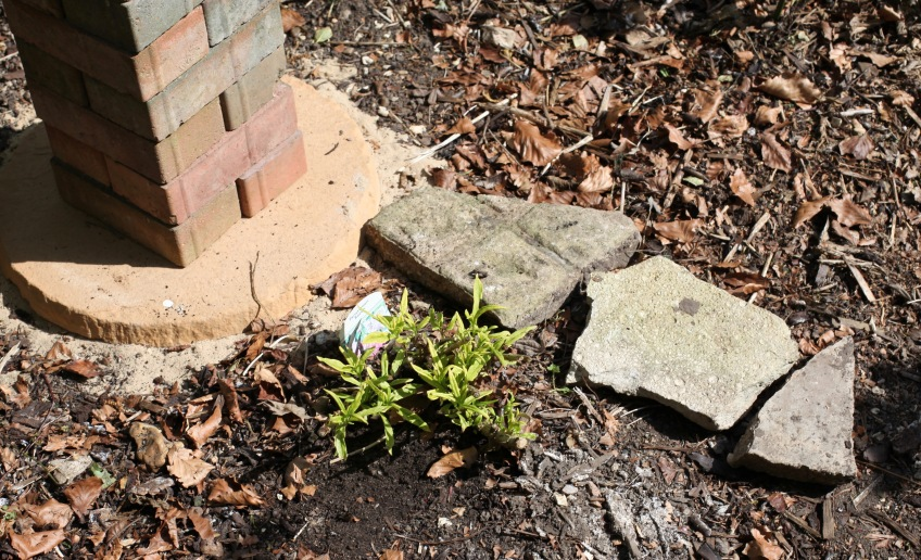 Planting in Rose Garden