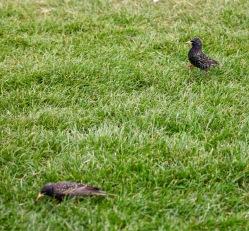 Starlings 1