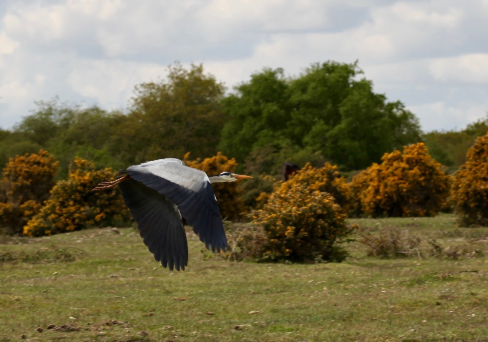 Heron in flight 2