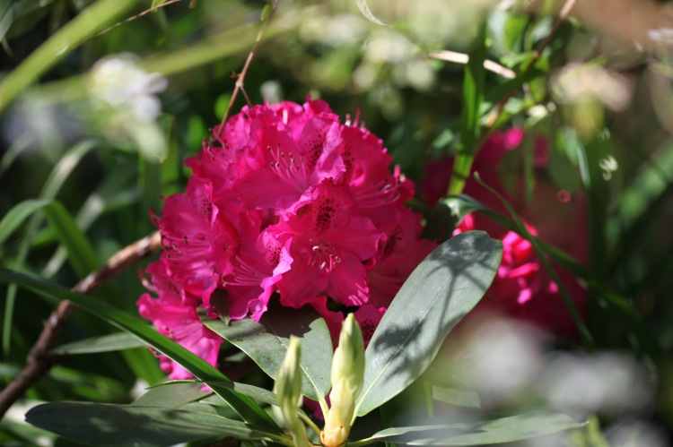 Rhododendron 1