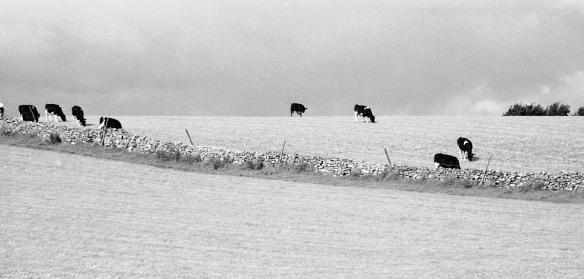 Friesan cattle 8.92