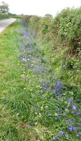 Bluebells on verge 1