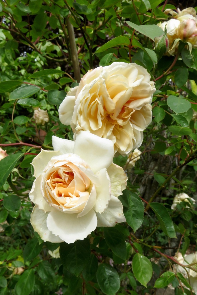 Rose Peach Abundance 1
