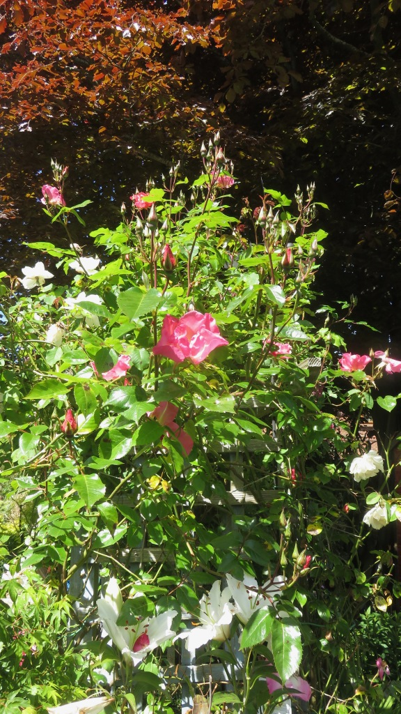 Roses Summer Wine and Madame Alfred Carriere 2