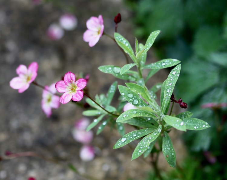 Raindrops on saxifrage
