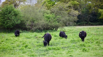 Cattle 2