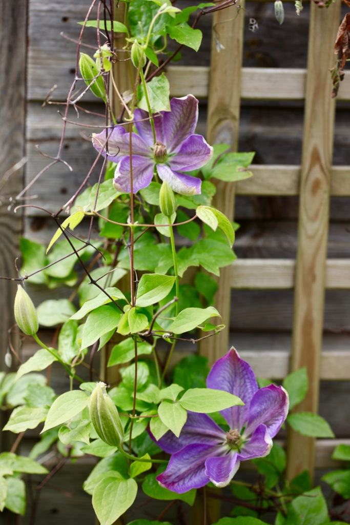 Clematis Lidl blue