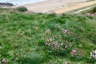 Thrift on clifftop 1