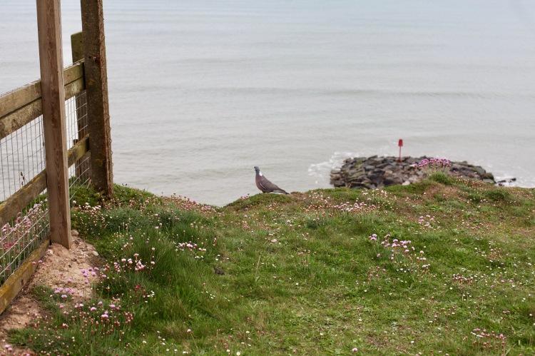 Pigeon on clifftop