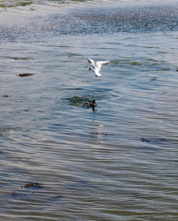 Gull and mallard 1