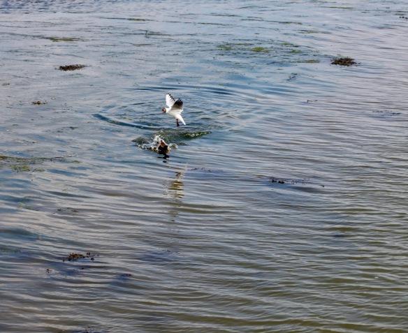 Gull and mallard 2