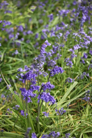 Bluebells on verge 2