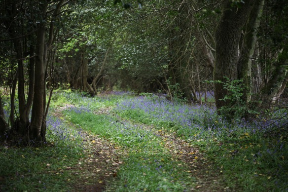 Bluebells in wood 1
