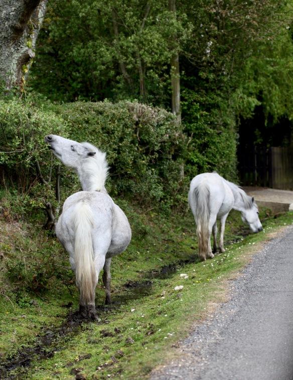 Ponies - one pregnant