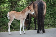 Pony foal and mare 1