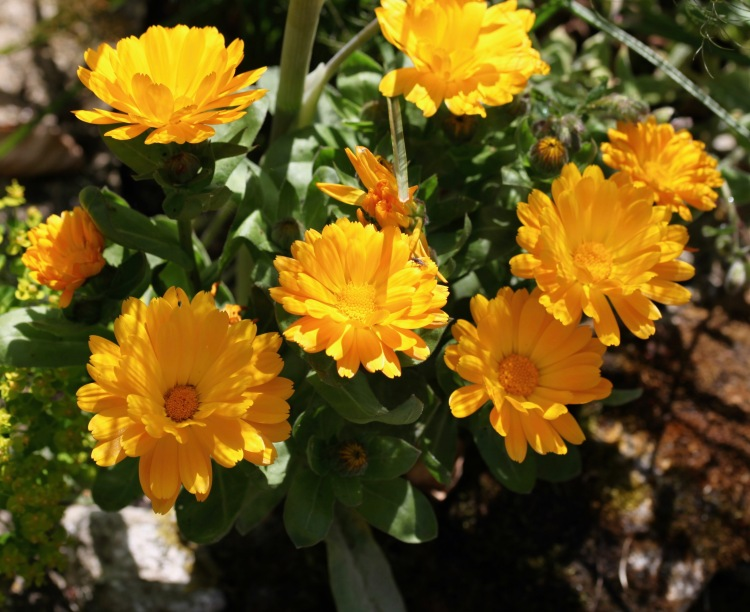 Fly on marigolds