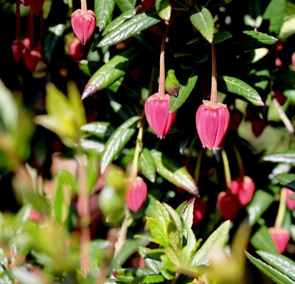 Chilean lantern plant