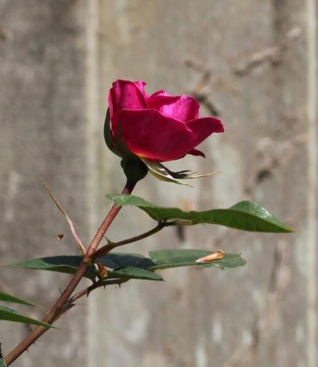 Rose Gloriana