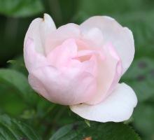 Rose Jacqueline du Pré