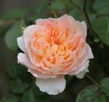 Rose Crown Princess Margarete