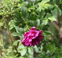 Roseriae de l'Hay 1