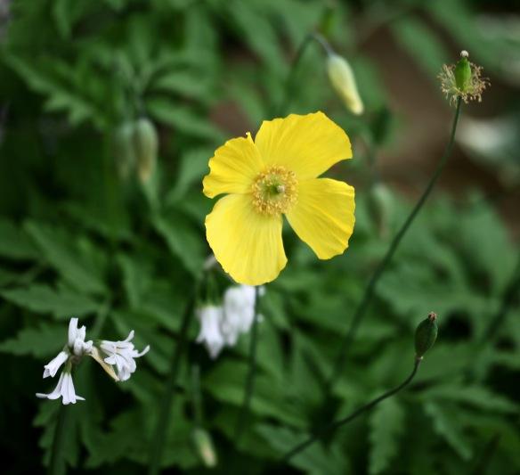 Yellow poppy and allium