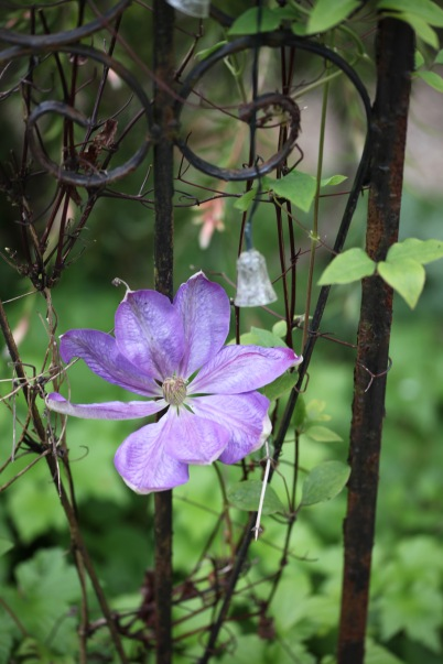 Clematis on gazebo