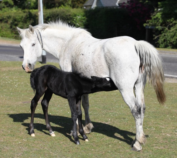 Pony mare and foal suckling