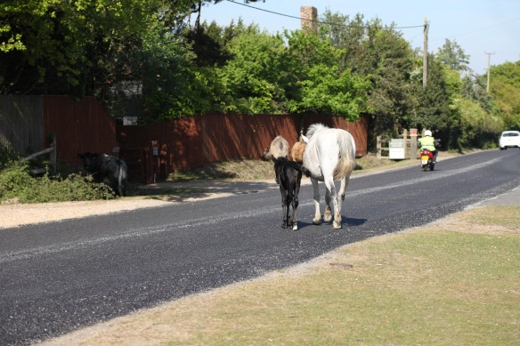 Pony mare and foal crossing road