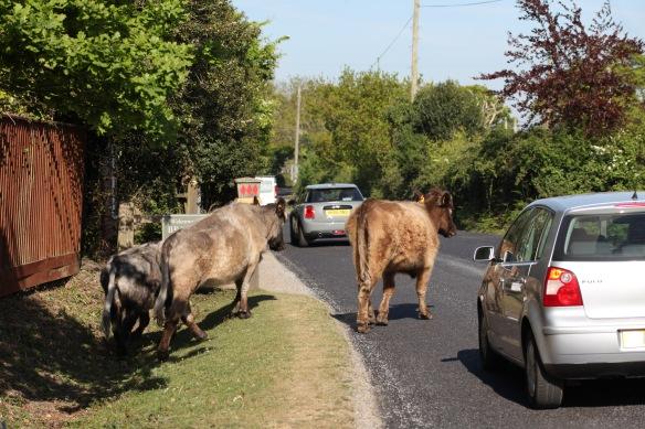 Cattle crossing road