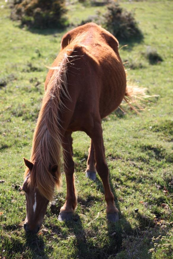 Pony 1