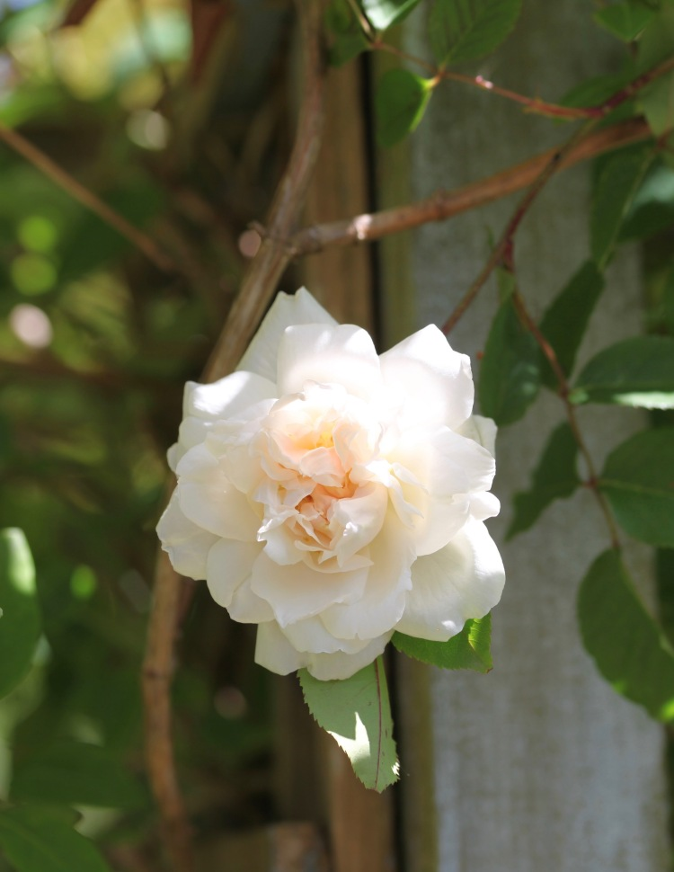 rose Madame Alfred Carriere 1