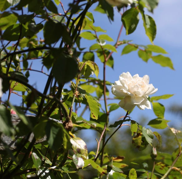 rose Madame Alfred Carriere 2