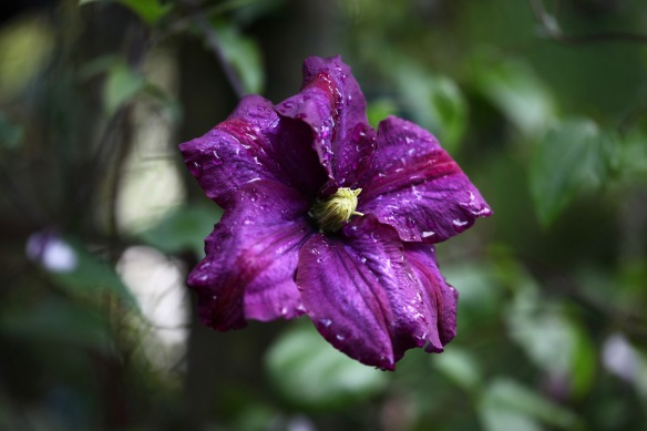 Raindrops on clematis Carnaby