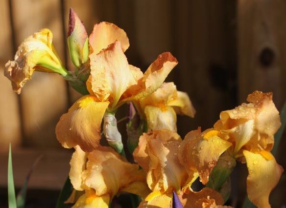 Raindrops on irises