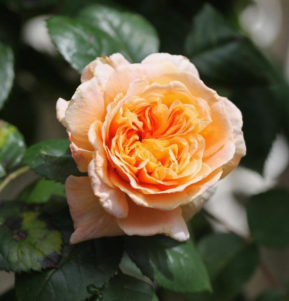 Rose Crown Princess Margarete