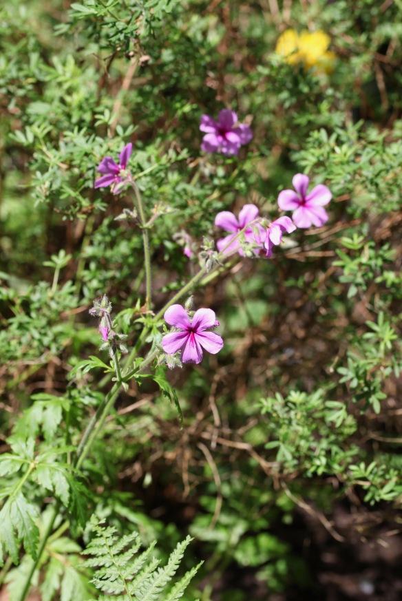 Geranium Palmatum