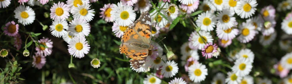 Butterfly Painted Lady on erigeron