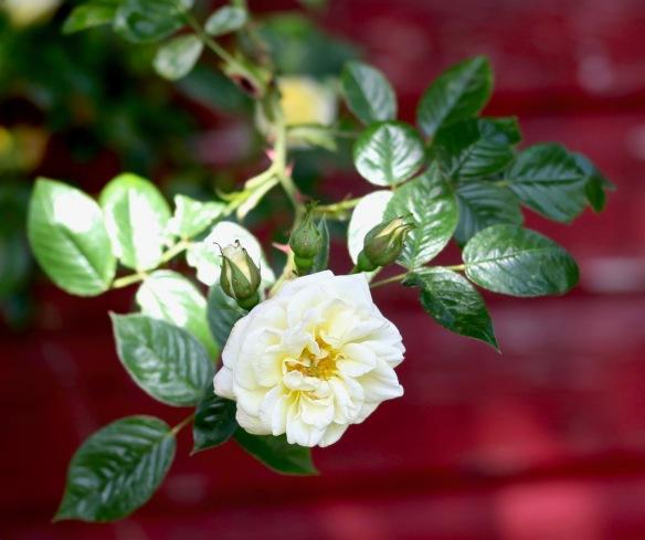 Rose Summer Time