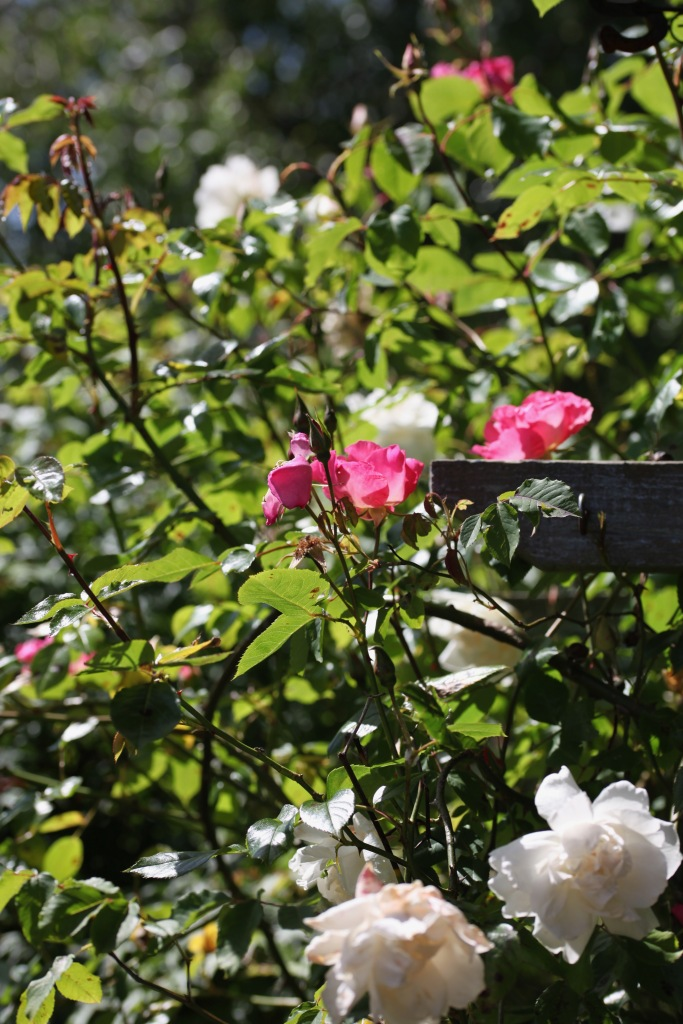 Roses Summer Wine and Madame Alfred Cariere
