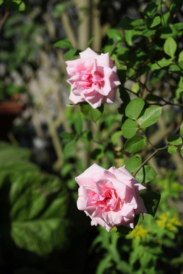 Roses pink rambler